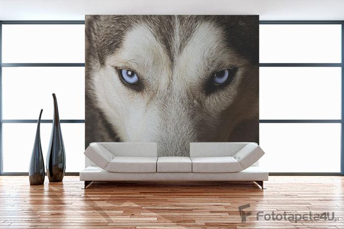 Fototapeta w salonie Niebieskie oczy Husky